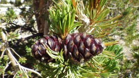 whitebark pinecone