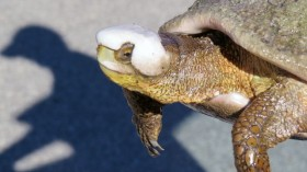 southwestern pond turtle covered in mineral deposits