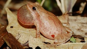 A spring peeper calls out into the air to attract a mate.