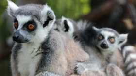 Ring tailed mother