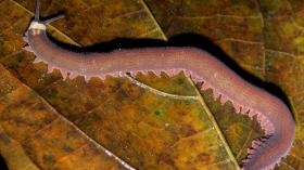 Velevet worm