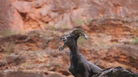 Disappeared Bighorns Could Be Making a Comeback in Arizona