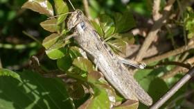 vagrant grasshopper
