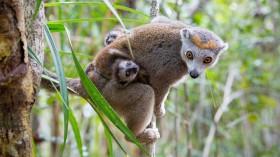 crowned lemur female
