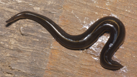 New Guinea Flatworm