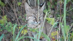 Young bobcat, possibly like the one buried by an ancient civilization in Illinois.