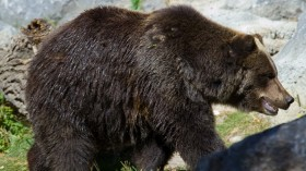 A grizzly bear. A polar bear-grizzly bear hybrid was previously recorded in the Canadian Arctic.