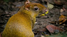 Agoutis help populate forest trees in Central and South America.