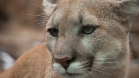 Mountain lions in the Santa Anna Mountains have difficulties crossing I-15.