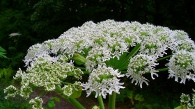 Giant hogweed grows very tall, but looks like other plants when still small.