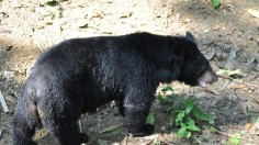Asiatic black bears, or moon bears, have powerful upper bodies for climbing.