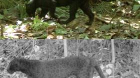 Black panther spots