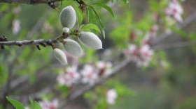 Almond orchards, which are big forests of carbon-retention, can do better with industry changes.