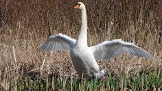 Mute swans are counted and assessed for health along the River Thames in late July.