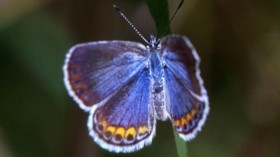 Karner Blue butterflies lay their eggs exclusively on blue lupines, the leaves of which the larvae eat.