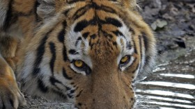 In 2010, tigers worldwide were estimated at 3200. More countries are conducting tiger surveys, to keep ahead of poachers.