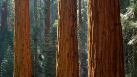 California's Giant Sequoias and other forests worldwide rebound at varying rates after droughts.