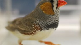 Zebra finches and other songbirds have a neural area that determines creative or rote songs.