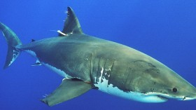 The Australian government has announced a campaign to begin tagging sharks.