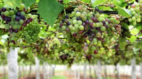 Grapes from a Winery