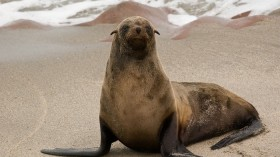 The closest known relative of hepatitis A has been identified in seals.