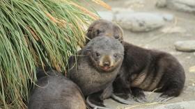 Antarctic Fur Seal Pups