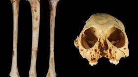 Antillothrix Bones and Skull