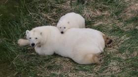 Arctic Polar Bears on Land