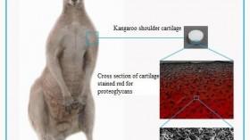 Kangaroo Shoulder Cartilage