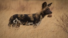 An African wild dog, one of many types of dogs on Earth