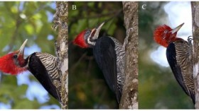 Woodpeckers in the Atlantic Forest
