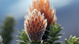 Flower of the Andes