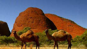 Population of Australia's feral camel has dropped by a quarter. (Photo: Reuters)