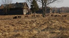Wild Boars in Chernobyl
