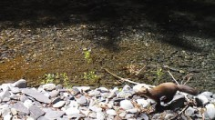 Footage of a likely Humboldt marten in California
