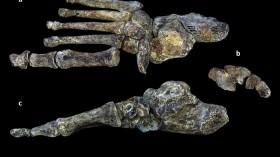 Homo naledi Foot