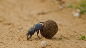 Dung Beetle and Seed