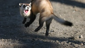 A black-footed ferret, jumping