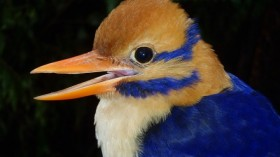 Moustached Kingfisher