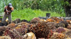 Oil Palm Harvest