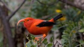 Rare Hawaii Bird