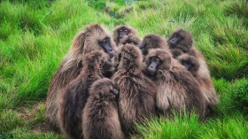 Wild Baboons