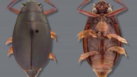 New Whirligig Beetle
