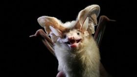Mouse-Eared Bat