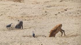 Animals Dig Waterholes