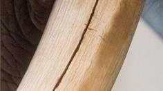 Cracked Elephant Tusk