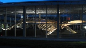 Big Blue, a blue whale skeleton at Vancouver's Beaty Biodiversity Museum