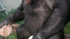 Bonobo Tool Making