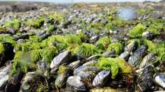 Intertidal Mussels