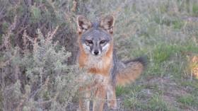 Santa Catalina Island Fox